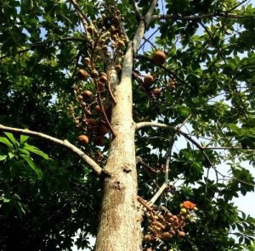 Bán cây giống Sala ( Ngọc Kỳ Lân) số lượng lớn nhỏ toàn quốc, 86464, Nguyễn Hùng, Blog MuaBanNhanh, 19/10/2018 13:28:22