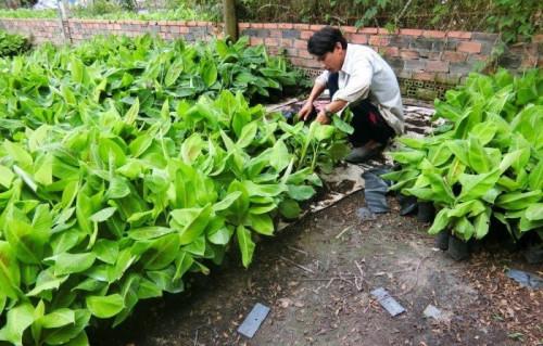 Cây Xanh Gia Nguyễn - Địa chỉ cung cấp giống cây trồng uy tín, 87068, Cây Xanh Gia Nguyễn, Blog MuaBanNhanh, 06/11/2018 16:41:42