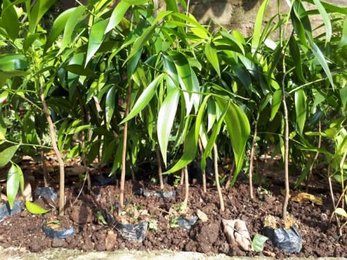 Chi tiết về giống cây kim giao quý hiếm, kỹ thuật trồng và chăm sóc cây cây kim giao, 87673, Bùi Đoàn, Blog MuaBanNhanh, 23/11/2018 11:53:56