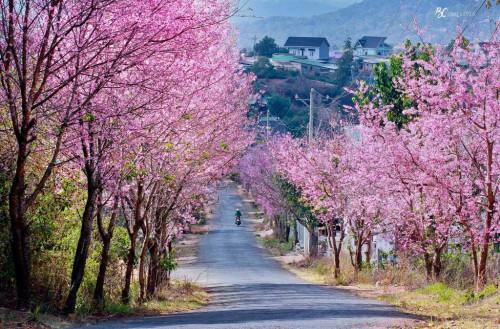 Du lịch Đà Lạt xuân 2019 - Thưởng thức Hoa Mai Anh Đào, 89303, Hoavnsup, Blog MuaBanNhanh, 28/01/2019 14:22:30