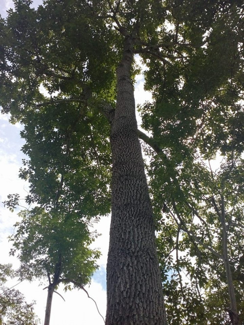 Giống cây gù hương, 89866, Lê Văn Hùng, Blog MuaBanNhanh, 06/03/2019 15:50:40