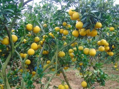 Kỹ thuật chăm sóc cây bưởi Diễn thời kỳ phát triển quả non, 91491, Giống Cây Và Hoa, Blog MuaBanNhanh, 22/07/2019 09:18:59