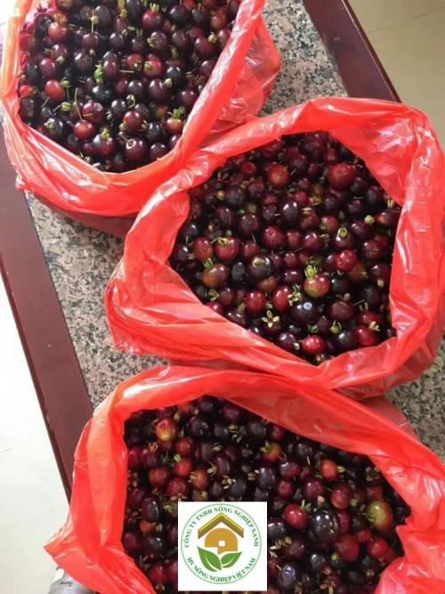 Cherry Brazil - Thơm - Ngon - Ngọt - Mát, 91617, Trung Tâm Giống Cây Trồng Học Viện Nông Nghiệp, Blog MuaBanNhanh, 22/06/2019 15:08:35