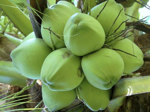 Giống cây dừa Xiêm, 91638, Trung Tâm Giống Cây Trồng Học Viện Nông Nghiệp, Blog MuaBanNhanh, 03/07/2019 13:23:49
