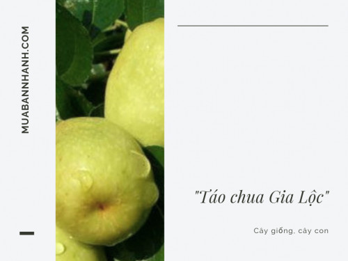 Giống táo chua Gia Lộc, 91693, Trung Tâm Giống Cây Trồng Học Viện Nông Nghiệp, Blog MuaBanNhanh, 03/07/2019 14:25:21