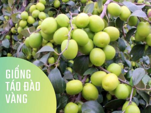 Giống táo đào vàng, 91695, Trung Tâm Giống Cây Trồng Học Viện Nông Nghiệp, Blog MuaBanNhanh, 03/07/2019 14:37:01