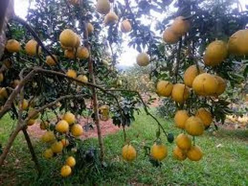 Tìm hiểu về cách trồng cây bưởi diễn tốt nhất, 92594, Giống Cây Và Hoa, Blog MuaBanNhanh, 31/10/2019 10:50:38