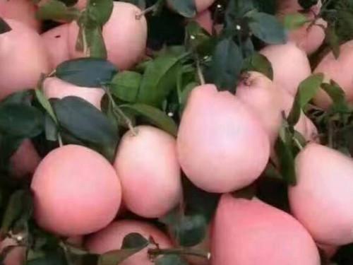 Cung cấp giống cây bưởi đỏ Phúc Kiến, 92775, Giống Cây Và Hoa, Blog MuaBanNhanh, 14/11/2019 09:03:14