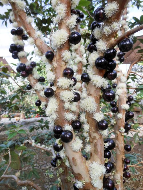 Kĩ thuật trồng giống cây nho thân gỗ, 93216, Giống Cây Và Hoa, Blog MuaBanNhanh, 07/12/2019 13:26:01