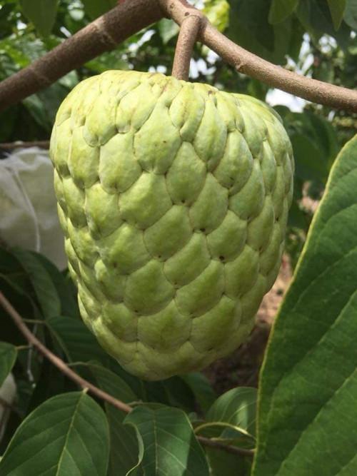 Kĩ thuật trồng cây Na Thái, 93572, Giống Cây Và Hoa, Blog MuaBanNhanh, 02/04/2020 15:39:00