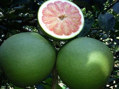 Kỹ thuật trồng bưởi da xanh, 93895, Giống Cây Và Hoa, Blog MuaBanNhanh, 17/01/2020 15:14:28
