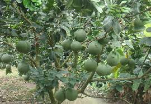 Kỹ thuật trồng bưởi da xanh, 93926, Giống Cây Và Hoa, Blog MuaBanNhanh, 17/01/2020 15:12:20