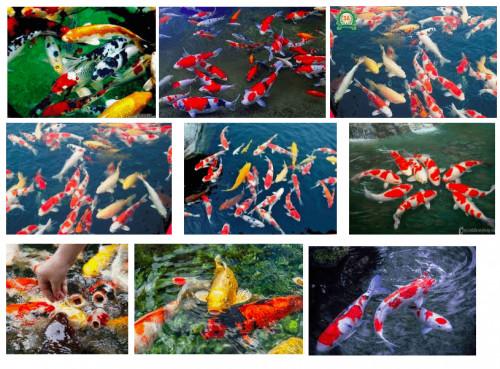 Cá Koi tượng trưng cho điều gì?, 93903, 0843977788, Blog MuaBanNhanh, 19/02/2020 18:30:42