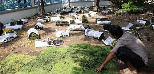 Nhà Vườn Đức Tiến Phát thi công sân vườn trồng cỏ nhung Nhật cho Điện lực Thủ Đức TPHCM, 94190, Cỏ Nhung Nhật - Cỏ Giá Rẻ, Blog MuaBanNhanh, 06/03/2020 14:04:13