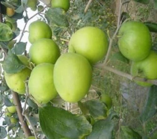 Đặc điểm cây táo Thái, 94218, Giống Cây Và Hoa, Blog MuaBanNhanh, 12/03/2020 13:07:39