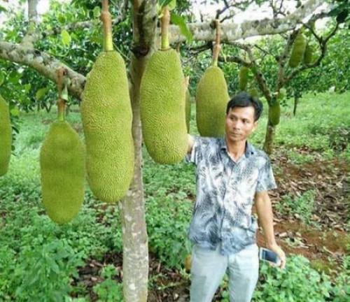 Cách trồng mít dài cho năng xuất cao, 94867, Giống Cây Và Hoa, Blog MuaBanNhanh, 18/05/2020 10:58:29