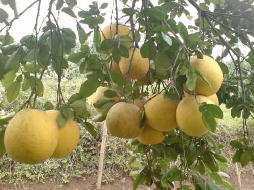 Phòng trừ bệnh vàng lá thối rễ trên cây bưởi, 95127, Giống Cây Và Hoa, Blog MuaBanNhanh, 18/05/2020 17:01:21