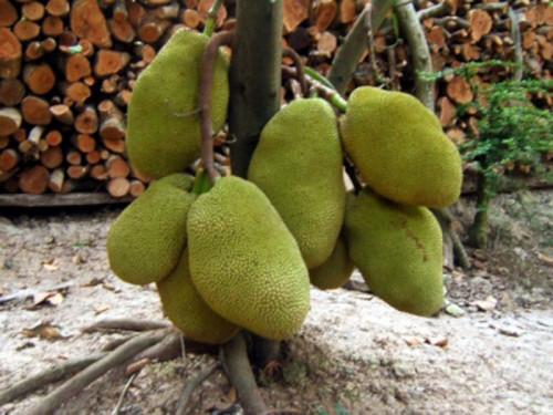 Hướng dẫn kĩ thuật trồng mít thái siêu sớm siêu trái trồng 16 tháng đã thu hoạch, 95039, Trung Tâm Giống Cây Trồng Học Viện Nông Nghiệp, Blog MuaBanNhanh, 26/05/2020 12:16:20