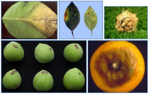 Bệnh thán thư trên cây bưởi và cách khắc phục, 95203, Giống Cây Và Hoa, Blog MuaBanNhanh, 02/06/2020 09:13:17