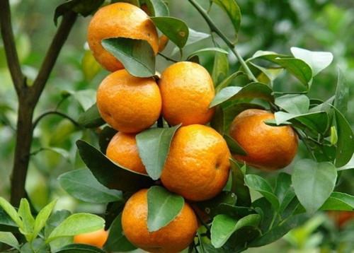 Cách trồng cây quít ngọt thái lan, 94988, Trung Tâm Giống Cây Trồng Học Viện Nông Nghiệp, Blog MuaBanNhanh, 29/10/2020 14:43:56