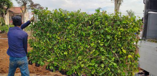 Tường cây xanh giá rẻ Nhà Vườn Đức Tiến Phát cung cấp cây xanh và thi công tận nơi, 96583, Cỏ Nhung Nhật - Cỏ Giá Rẻ, Blog MuaBanNhanh, 03/02/2021 09:53:54