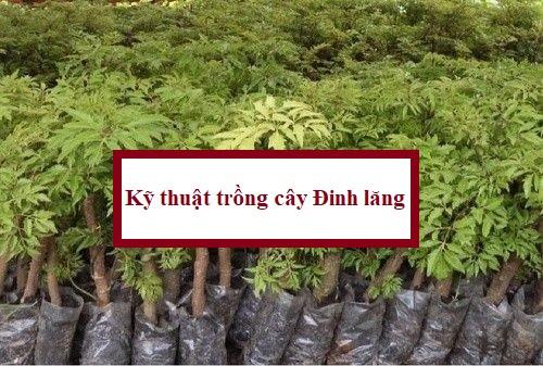 Kỹ thuật trồng cây Đinh lăng, 81372, Giống Cây Và Hoa, Blog MuaBanNhanh, 24/05/2018 10:59:03