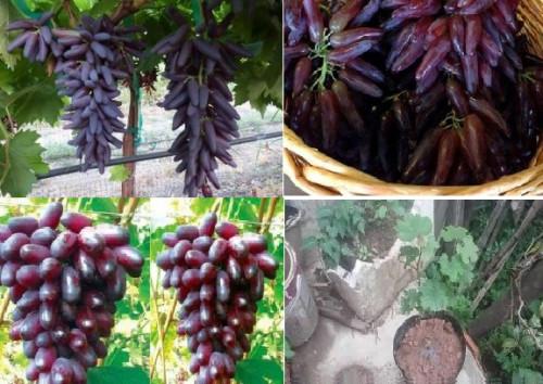 Giới thiệu đặc điểm cây giống nho ngón tay, 82320, Cây Giống Chất Lượng, Blog MuaBanNhanh, 20/06/2018 09:22:06
