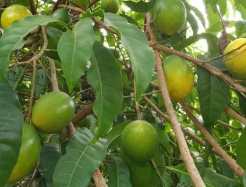 Tại sao nên trồng cây vú sữa vàng?, 82308, Cây Giống Chất Lượng, Blog MuaBanNhanh, 20/06/2018 11:05:12