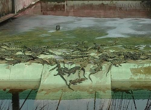 Giá cá sấu giống hạ nhiệt., 42707, Lavender, Blog MuaBanNhanh, 01/07/2015 09:39:42