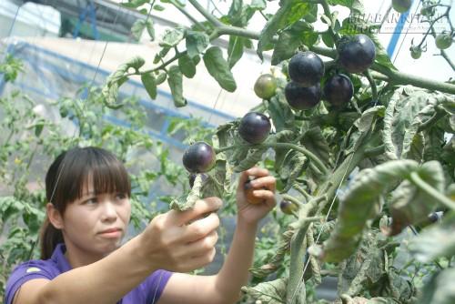 Trái cây lạ đắt khách, 43791, Lavender, Blog MuaBanNhanh, 10/07/2015 09:27:45
