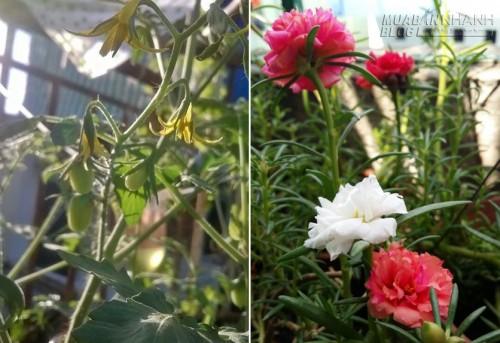 Vườn rau trên sân thượng Sài Gòn của gia đình gốc nông dân, 43862, Nguyễn Thu Hương , Blog MuaBanNhanh, 10/07/2015 17:47:06