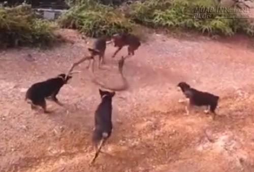 Kinh hãi trước cuộc chiến quyết liệt giữa rắn hổ mang chúa và 5 chú chó, 51794, Nguyễn Thu Hương , Blog MuaBanNhanh, 20/09/2015 16:59:29
