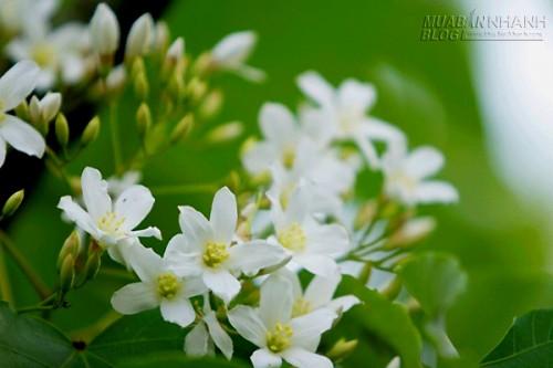 Về Bắc Bộ ngắm hoa trẩu nở rộ dịp tháng 4, 68899, Lavender, Blog MuaBanNhanh, 08/04/2016 09:42:08