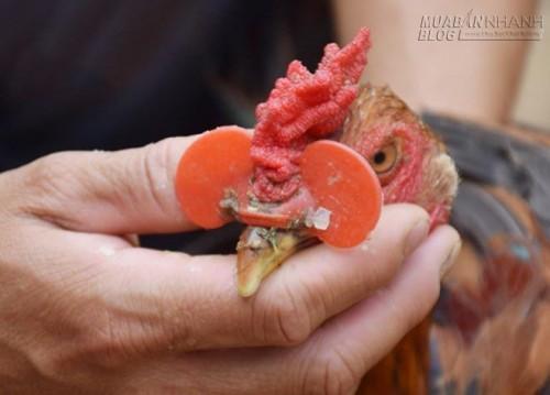 Đeo kính cho gà, độc chiêu chăn nuôi của nông dân Nghệ An, 71371, Nguyễn Thu Hương , Blog MuaBanNhanh, 14/05/2016 16:46:36