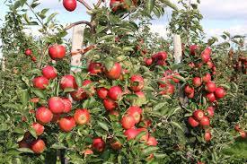 Giống táo chua ruột đỏ RedLove  - Năng xuất cao cho người trồng trọt