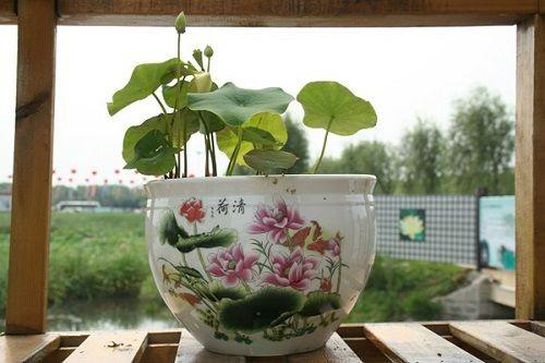 3 bước cơ bản để tự trồng sen tại nhà(2)