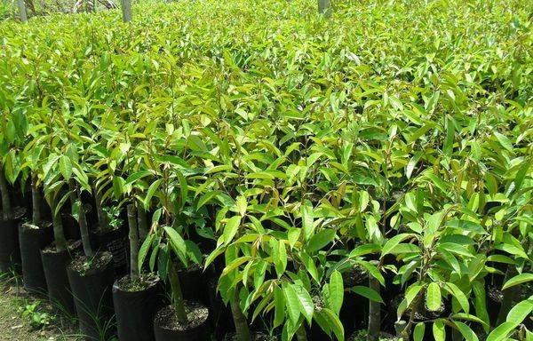 Cung cấp giống cây sầu riêng Ri6