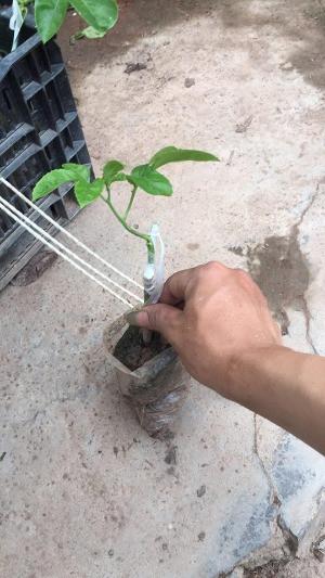 1. Chuẩn bị dụng cụ trồng, đất trồng và hạt giống  Dụng cụ trồng  Bạn có thể tận dụng bao nion, bao xi măng, chậu, khay hoặc thùng xốp có sẵn trong nhà hoặc mảnh đất trống trong vườn để trồng chanh dây. Lưu ý: Dưới đáy khay đục lỗ để thoát nước.  Đất trồng  Chanh dây không quá kén đất. Tuy nhiên, cây sẽ phát triển tốt nếu được trồng ở đất thoáng, giàu chất hữu cơ, có khả năng thoát nước tốt và độ pH từ 5,5-6. Bạn có thể mua đất sẵn hoặc tiến hành trộn đất với phân bò hoai mục, phân gà, phân trùn quế, vỏ trấu, xơ dừa…  Hạt giống  Hiện nay, giống chanh dây quả tím được nhiều người chọn làm giống. Loại giống này có khả năng tự thụ phấn cao, ít biến dị, có thể nhân giống bằng hạt.  Nếu muốn trồng chanh dây từ hạt giống, bạn nên tìm mua những quả chanh dây già có phần vỏ nhăn nheo màu tím sẫm. Sau khi mua về, dùng dao bổ đôi quả chanh, dùng muỗng lấy toàn bộ ruột rồi rửa sạch phần cơm nhầy, chỉ giữ lại hạt đen bên trong và để ráo nước. Bạn cũng có thể tìm mua hạt giống ở các cửa hàng bán đồ nông sản.  Để rút ngắn thời gian và tiết kiệm công sức chăm sóc, bạn có thể tìm mua tại các chợ cây hay các cửa hàng bán cây giống. Nên chọn những cây giống cao tầm 8-10cm, có thân chắc khỏe và lá tươi xanh để giảm bớt rủi ro trong quá trình gieo trồng.    Hoa chanh dây.  2. Ngâm ủ, gieo hạt và cấy cây  Trước khi gieo, ngâm hạt trong vòng 24-36 giờ. Sau khi ngâm, tiến hành gieo hạt vào chậu đất có đường kính 30cm với khoảng cách đều nhau rồi phủ thêm một lớp đất mỏng để che kín hạt. Sau đó, tưới nước để cung cấp độ ẩm và đặt chậu ở nơi thoáng đãng có tiếp xúc với ánh sáng mặt trời để hạt nhanh nảy mầm hơn.  Sau khoảng 2 đến 3 tuần thì hạt giống đem gieo sẽ nảy mầm. Sau khoảng 6 tuần trở đi cây đã đạt chiều cao tầm 8cm, lúc này bạn có thể chọn lọc cây con tốt và khỏe để giữ lại trồng.  Đào hố kích thước 60x60x60cm, bỏ lớp đất mặt 1 bên. Bón vôi 0,5kg/hố sau đó tiến hành bón lót phân chuồng rồi cấy cây con. Sau khi cấy xong che phủ cho cây trong vòng 1 tuần và tưới nước ngày 2 lần.    C