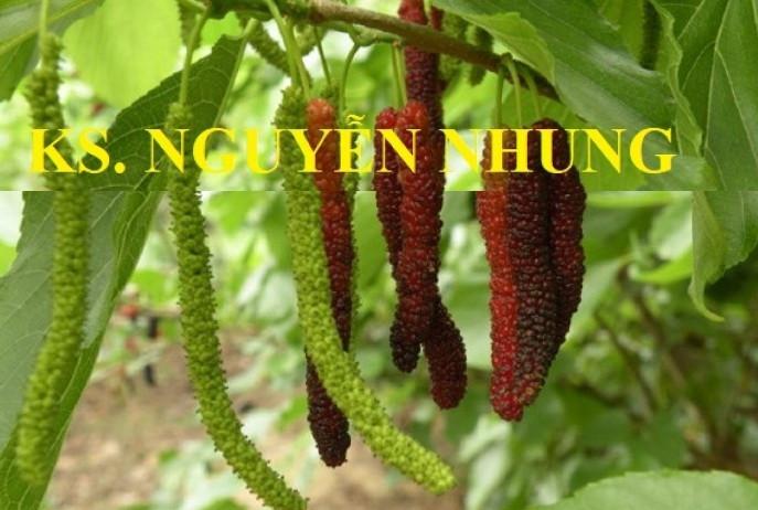 Giống cây dâu quả dài Đài Loan cho năng xuất cao
