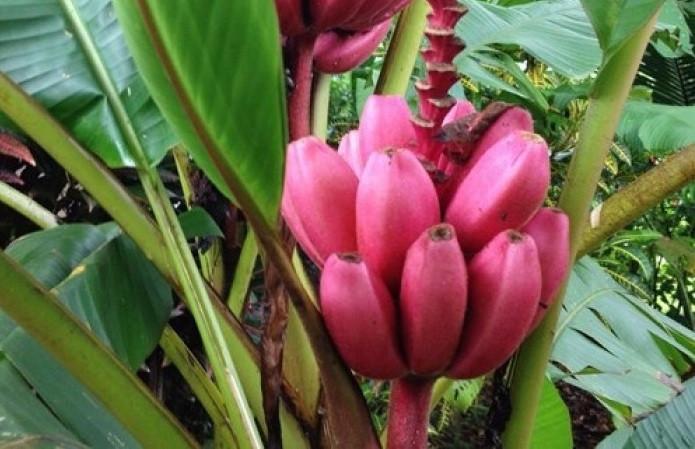 Giới thiệu giống cây chuối đỏ Dacca