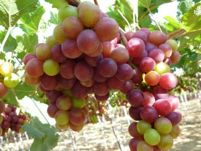 Cây giống nho Pháp - Cách trồng chăm sóc giống nho Pháp