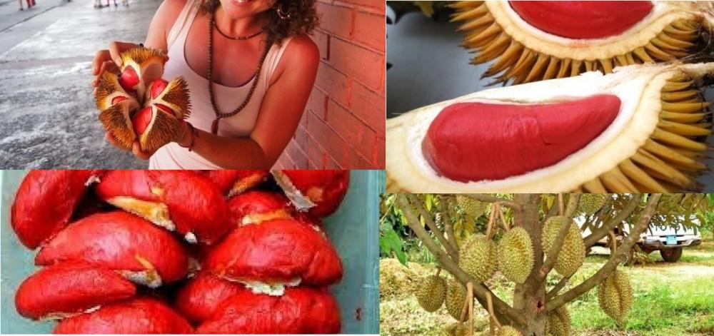 Cây giống sầu riêng ruột đỏ - cây giống sầu riêng ruột đỏ nhập khẩu Malaysia chuẩn, uy tín, chất lượng
