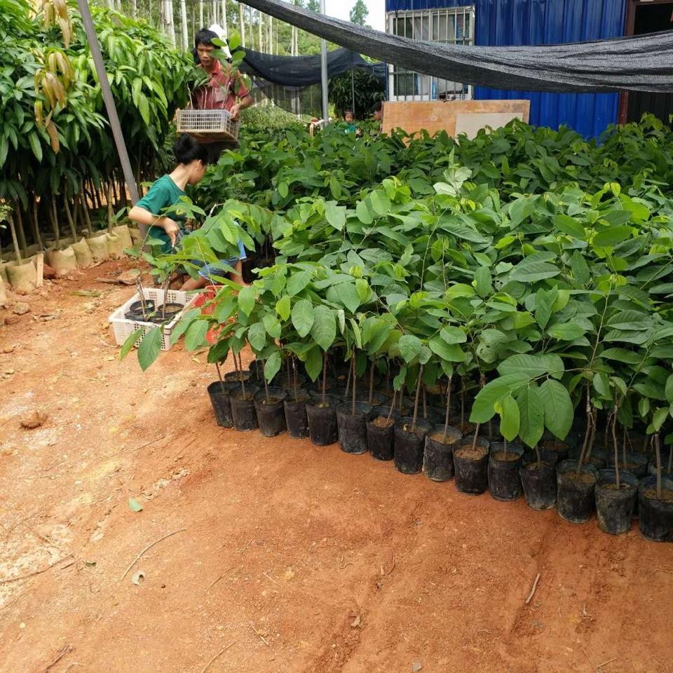 cây giống na bở, mãng cầu Đài Loan