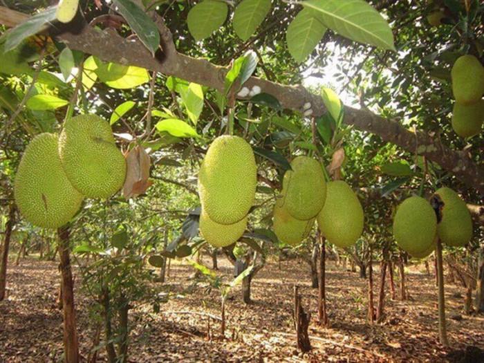 Cung cấp cây giống mít chất lượng, đảm bảo uy tín
