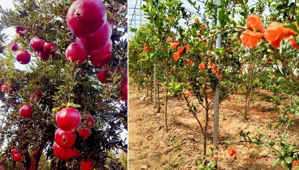 Cách trồng cây lựu đỏ lùn ra nhiều quả