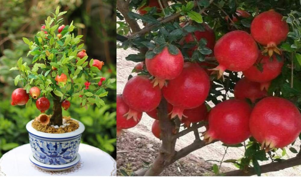 Hướng dẫn trồng cây lựu đỏ lùn trong chậu làm cảnh tại nhà