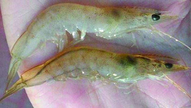 Tìm hiểu về nguyên nhân, dấu hiệu và cách trị bệnh đen mang ở tôm