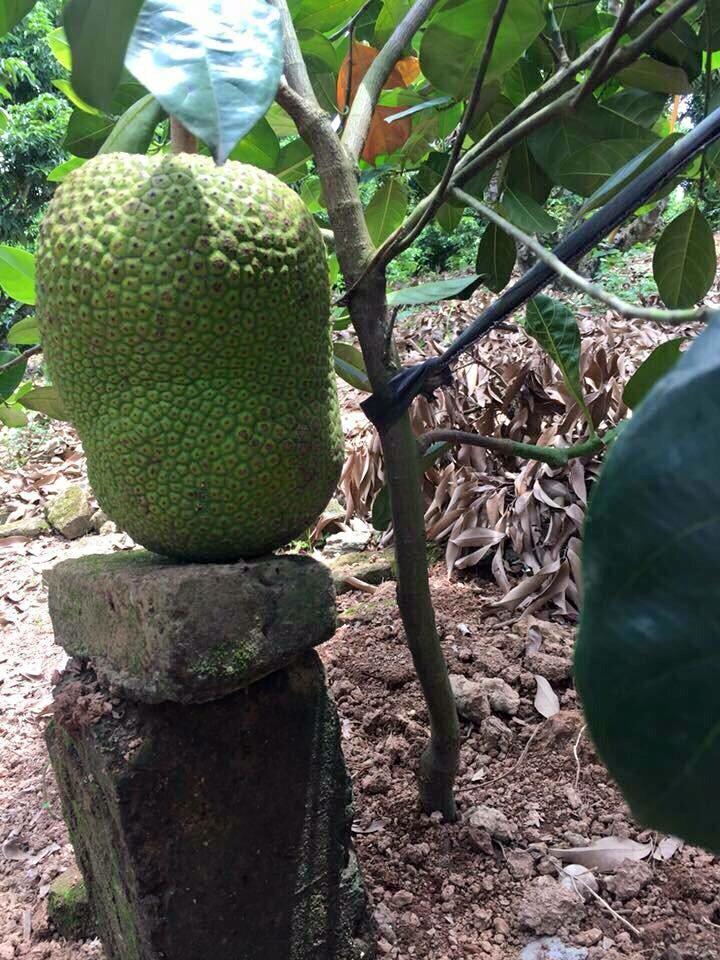 Cung cấp cây giống chất lượng - Giống mít Thái siêu sớm