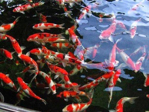 Mua cá chép Nhật Bản giá rẻ tại Hồ Chí Minh