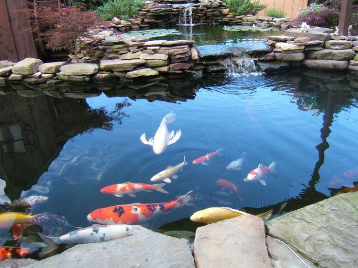Cách chọn mua giống cá chép Koi Nhật Bản và cách nuôi cá chép Nhật Bản tốt nhất
